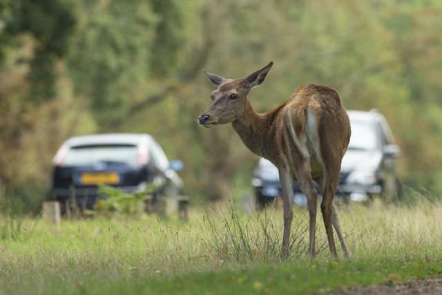 Aumentano gli incidenti gravi fra veicoli e animali